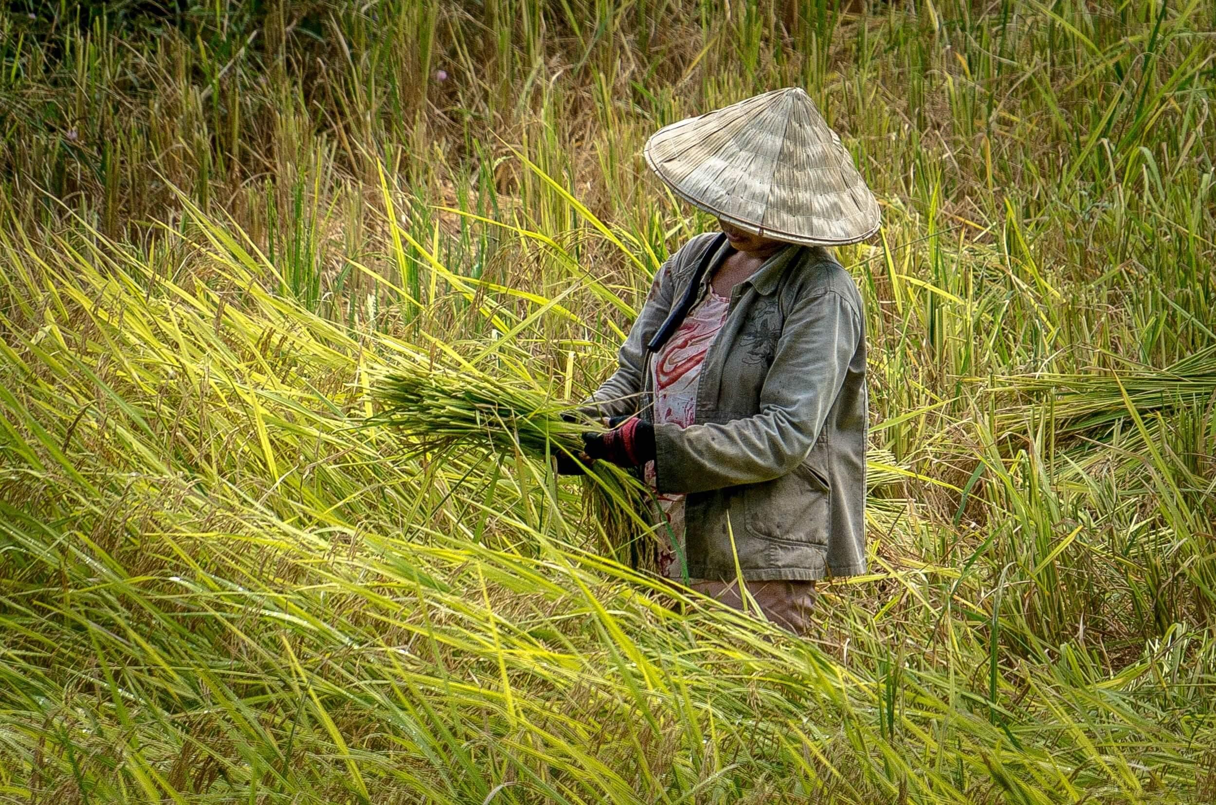mujer asiatica cosechando trigo